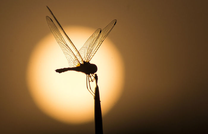 Silhouette Dragonfly Backgroundsun Wildlife & Nature