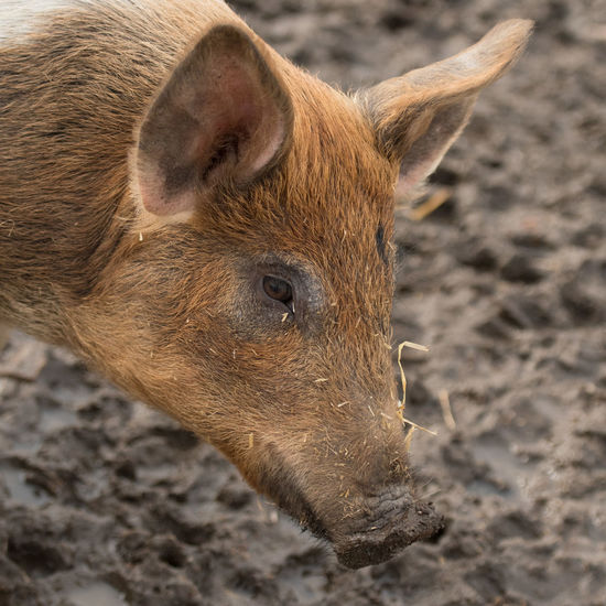 Grazing pig in natural environment Animal Themes Bristles Close-up Mammal No People One Animal Outdoors Pig Pigs Pigs♥
