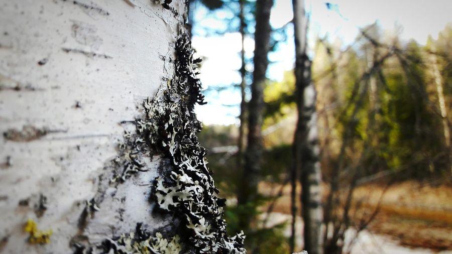 Nature Beauty In Nature Tree Vännäs Spring Nearly Summer