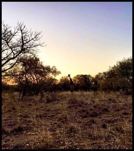 Wildlife & Nature Gamedrives Safari Giraffe