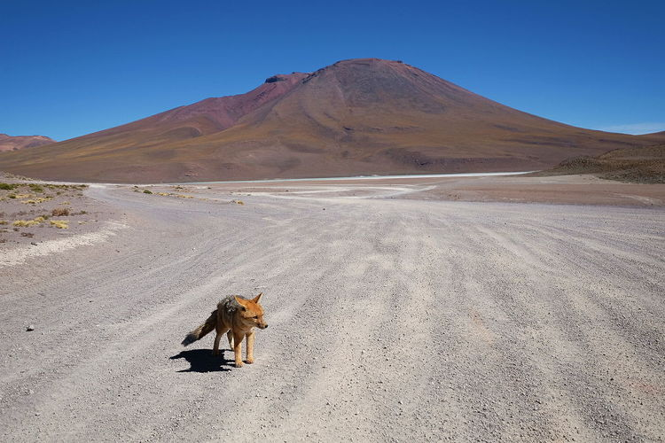 Andean Fox Desert No People Blue Sky Bolivia Sunny Landscape Dry Arid Climate Lonely Fox Animal Themes Animal Wildlife Mountain