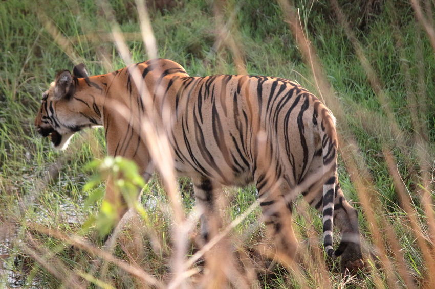 Beautiful tigress with stripes Animal Animal Themes Animal Wildlife Animals In The Wild Day Field Grass Herbivorous Land Mammal Nature No People One Animal Outdoors Plant Striped Vertebrate