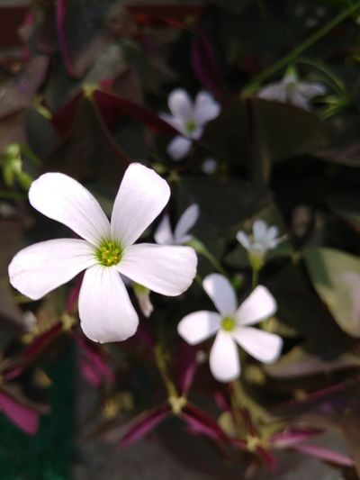 Flower White Color Petal Flower Head Fragility Freshness Beauty In Nature Growth Plant Close-up No People Day Springtime Nature Outdoors Lady's Sorrel Oxalis Spp Wood Sorrel