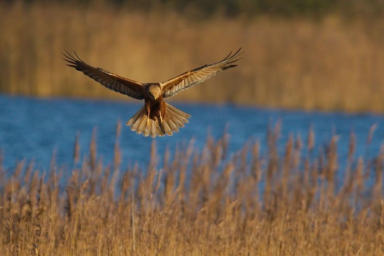 Marsh Harrier Spread Wings Avian Bird Clear Sky Mid-air Flying Nature Outdoors Wildlife No People Gary Coupland Gazisonit Beauty In Nature