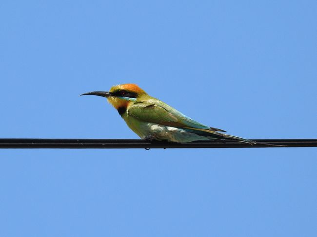 Rainbow Bee-eater One Animal Animals In The Wild Bird Copy Space Animal Themes Perching Blue Animal Wildlife Clear Sky Low Angle View No People Day Outdoors Nature Beauty In Nature Close-up