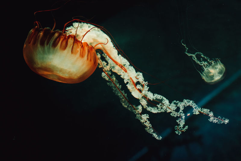 Animal Themes Animals In The Wild Aquarium Life Aquarium Photography Black Background Close-up Day Floating In Water Jelly Fish Jellyfish Nature Nature Photography Nature_collection Naturelovers Natureshots No People One Animal Sea Sea Life Swimming UnderSea Underwater Underwater Photography Water