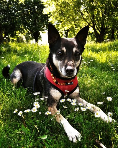 Nature Animals Beauty In Nature Dog Dog Looking Animalphotography Walking With My Dog Flowers Lying On The Grass