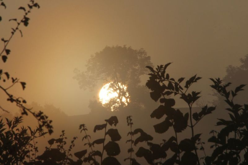 The sun did eventually lift its face through the mist. Misty Morning Tree Plant Sky Nature Silhouette Sunset Beauty In Nature Leaf Tranquility No People Low Angle View Plant Part Sun Growth Outdoors Scenics - Nature Illuminated Branch Tranquil Scene