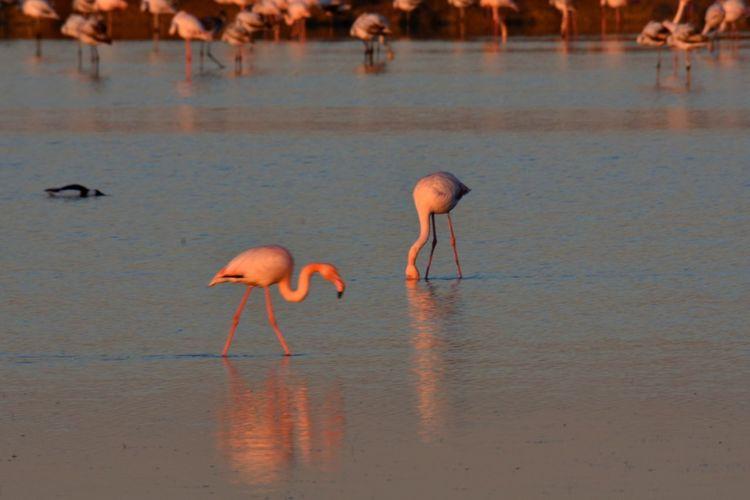Orange Color Large Group Of Animals Water Colony Flamingo Animal Wildlife Outdoors
