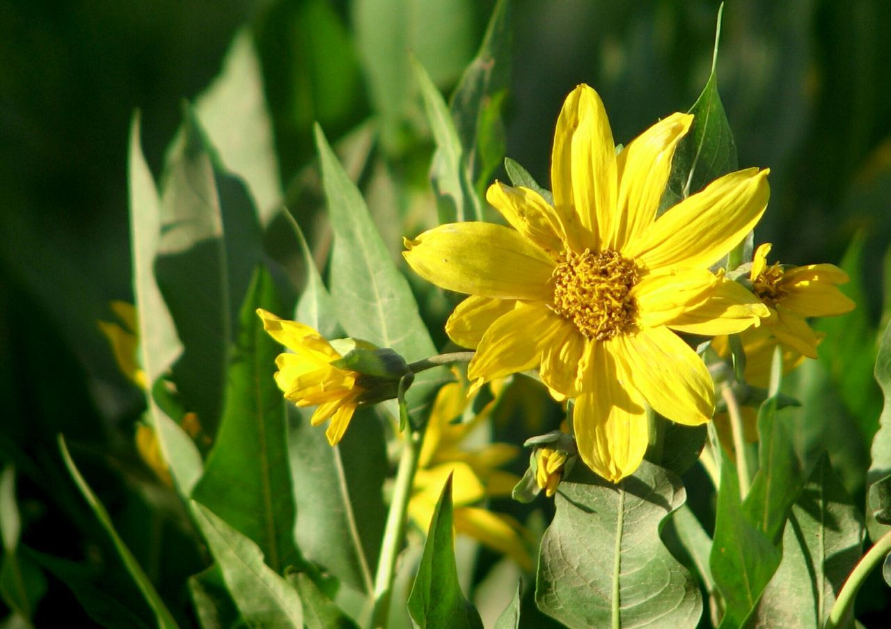 flower, yellow, growth, nature, petal, plant, fragility, beauty in nature, freshness, flower head, blooming, field, no people, outdoors, day, close-up
