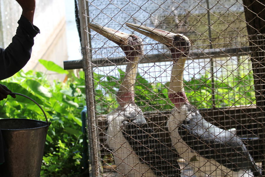 Lesser Adjutant Stork Animal Animal Themes Barrier Bird Boundary Day Fence Group Of Animals Metal Nature Outdoors Vertebrate