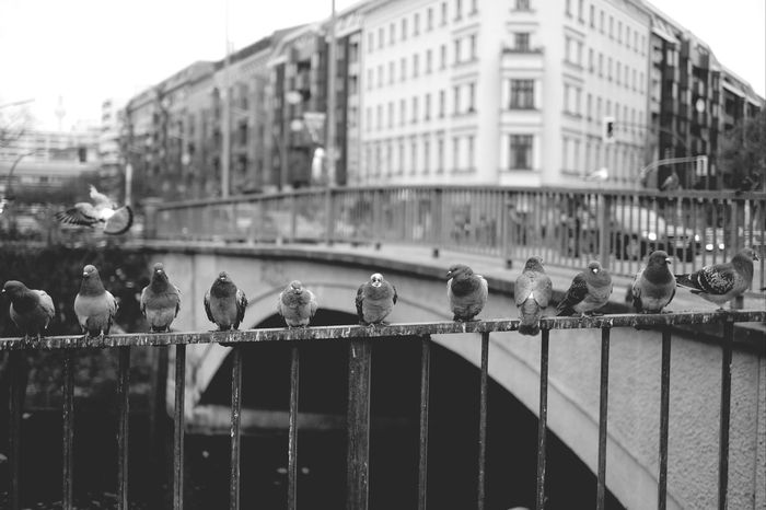 Pigeons Rows Of Things Streetphoto_bw