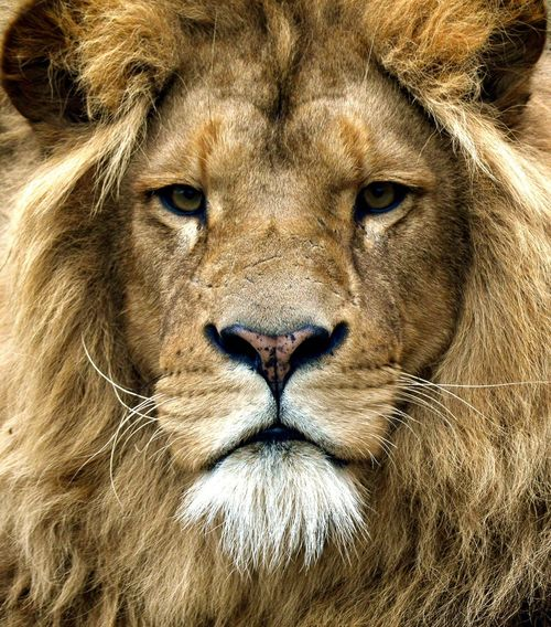 Strong leader Animal Themes Portrait One Animal Close-up Mammal Lion - Feline Looking At Camera Outdoors Carnivora Nature