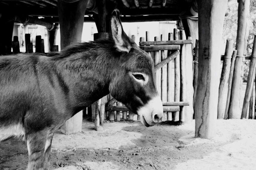 Animal Themes Domestic Animals Mammal Livestock One Animal No People Outdoors Day Nature Close-up EyeEm Vision Donky Donkeylove Donkey Photography Donkey Time Donkeyshot EyeEm Best Shots Pet Portraits Done That.