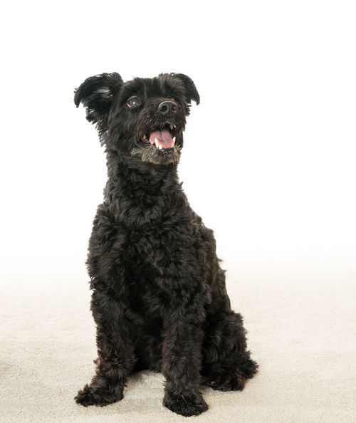 Puppy dog posing for photograph Poodle Animal Dog Mammal Pet Portrait Pose Pup Puppy Seated Terrier