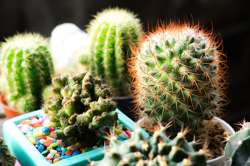 Many cactus pots are set on wooden boards. Cactus Succulent Plant Thorn No People Growth Sharp Green Color Spiked Plant Close-up Potted Plant Barrel Cactus Nature Focus On Foreground Beauty In Nature Communication Day Outdoors Selective Focus Food