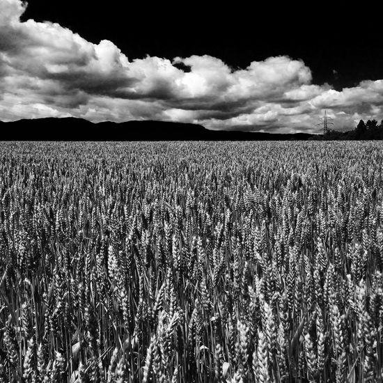 Agriculture Environmental Conservation Environmental Issues Environment Protection Wheat Wheat Field Blackandwhite Blsck&White No People Field Cultivated Land Rural Scene