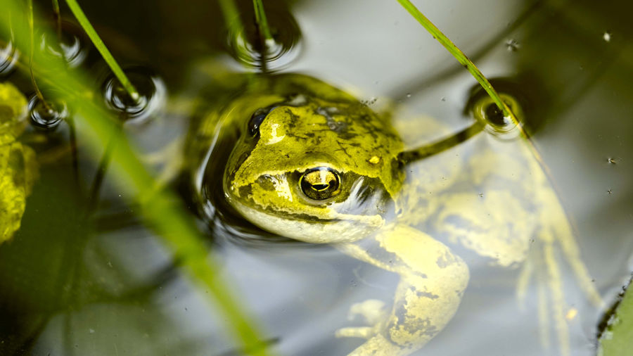 High angle view of frog floating on lake
