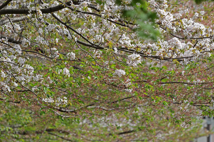 Green Green Color Beauty In Nature Blossom Cherry Leaf Cherry Tree Flower Spring Springtime Tree