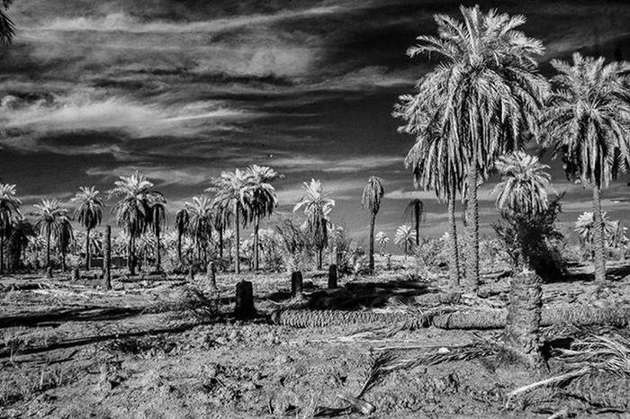 Canon 400d Canon400d Monochrome Blackandwhite Basrah Shattalarab River Iraq IR Infrared Palms