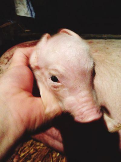 Veterinary Veterinarian Pig BabyPig Farm