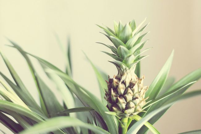 Pineapple Photography Plant Green GREEN IS GOOD Moments Sunlight Naturelovers New Home Fine Art Photography