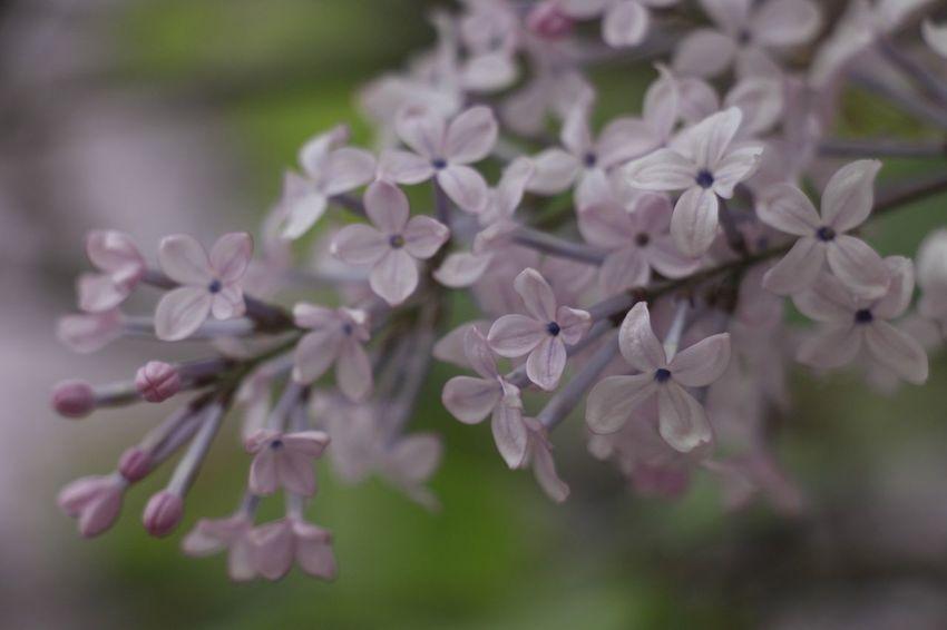 Beauty In Nature Blooming Clove Flower Flower Head Fragile Fragile Beauty Fragility Freshness Growth Lilac Nature Petal Syringa