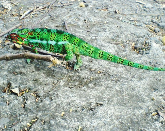 Cameleon Photo #photos #pic #pics #TagsForLikes.com #picture #pictures #snapshot #art #beautiful #instagood #picoftheday #photooftheday #color #all_shots #exposure #composition #focus Capture Moment Reunion Island Colors Animals