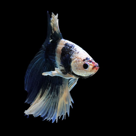 Siamese fighting fish, blue fish, black background betta splendens, betta fish, halfmoon betta.