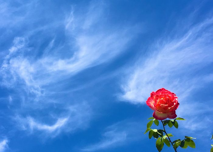 Low angle view of red rose against blue sky
