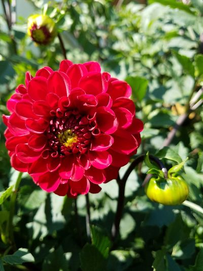 Flower Nature Red Beauty In Nature Petal No People Day Growth Plant Freshness Outdoors Flower Head Close-up Dahlia Flowers Dahlia Blooming Dahliaflowers Dahlias Red Flower Red Color Vibrant Color Beauty In Nature Freshness Plant Scent Of A Flower
