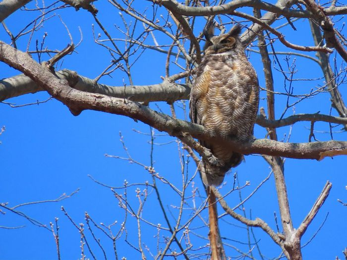 EyeEm Selects owl in a tree low angle view bare tree branches blue skies Birds of EyeEm Birds of prey beauty in nature outdoors Animal Themes Animal Wildlife No People