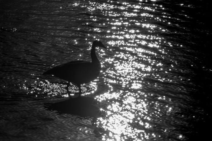 Silohuette of a Canadian Goose. Tried something different and shot directly into the sunlight. Not sure if successful. Black & White Canadian Geese Reflection Sunlight Animal Themes Animal Wildlife Animals In The Wild Beauty In Nature Bird Black And White Canada Contrast High Angle View Nature No People One Animal Outdoors Rippled River Shadow Silhouette Sunlight And Shadow Water Waterfront