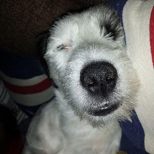 Sleeping beauty :) Jackrusselllove Jackrussell Jack Jackie jacky dog doglove halmstad halland sommar semester sleepy