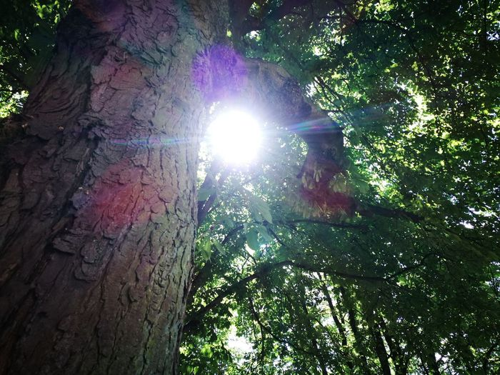 """""""One shines through"""" Tree Lens Flare Tree Trunk Nature Sunlight Growth Forest Outdoors Low Angle View Day Beauty In Nature Real People Branch Sky"""