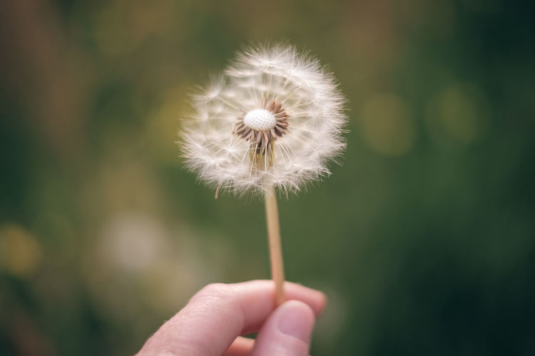 Dandelion Dandelion Fragility Vulnerability  Freshness Flower Plant Flowering Plant Close-up Focus On Foreground Dandelion Seed Nature Beauty In Nature Softness Outdoors Flower Head Holding In Hand
