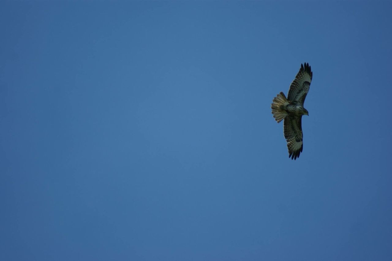copy space, clear sky, low angle view, blue, flying, no people, one animal, mid-air, day, nature, animals in the wild, animal themes, outdoors, spread wings, sky, bird, bird of prey