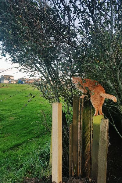 Ginger Cat Trees Scotland Peterhead Cruden Bay Aberdeenshire United Kingdom