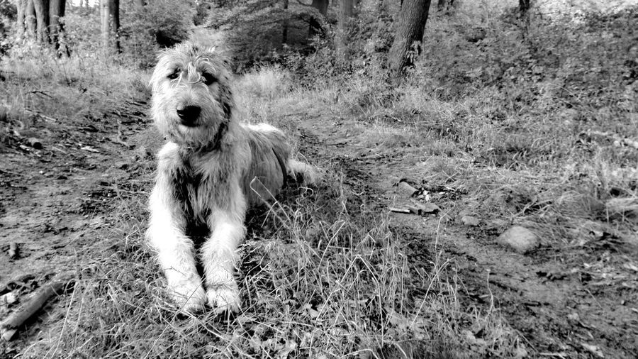 Taking Photos Check This Out Hanging Out Hello World Relaxing Hi! Blackandwhite Monochrome Dog Of The Day Dog Of My Life Dog Of Eyeem Dogs The Places ı've Been Today How Is The Weather Today? Deep In The Woods Altmark Forestland Cearnaigh Irish Wolfhound Dogwalk Dogslife Showcase August Holiday 2016 Summer 2016 August2016