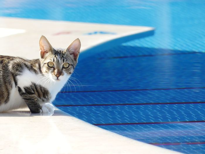 Portrait of cat sitting by swimming pool