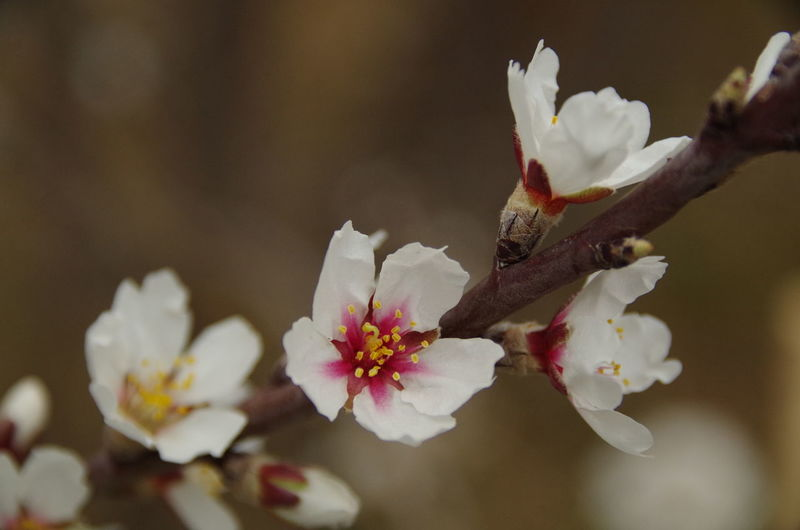 Almond flowers close up Almond Almond Tree Beauty In Nature Blossom Close-up Flower Flowers Nature Springtime Twig