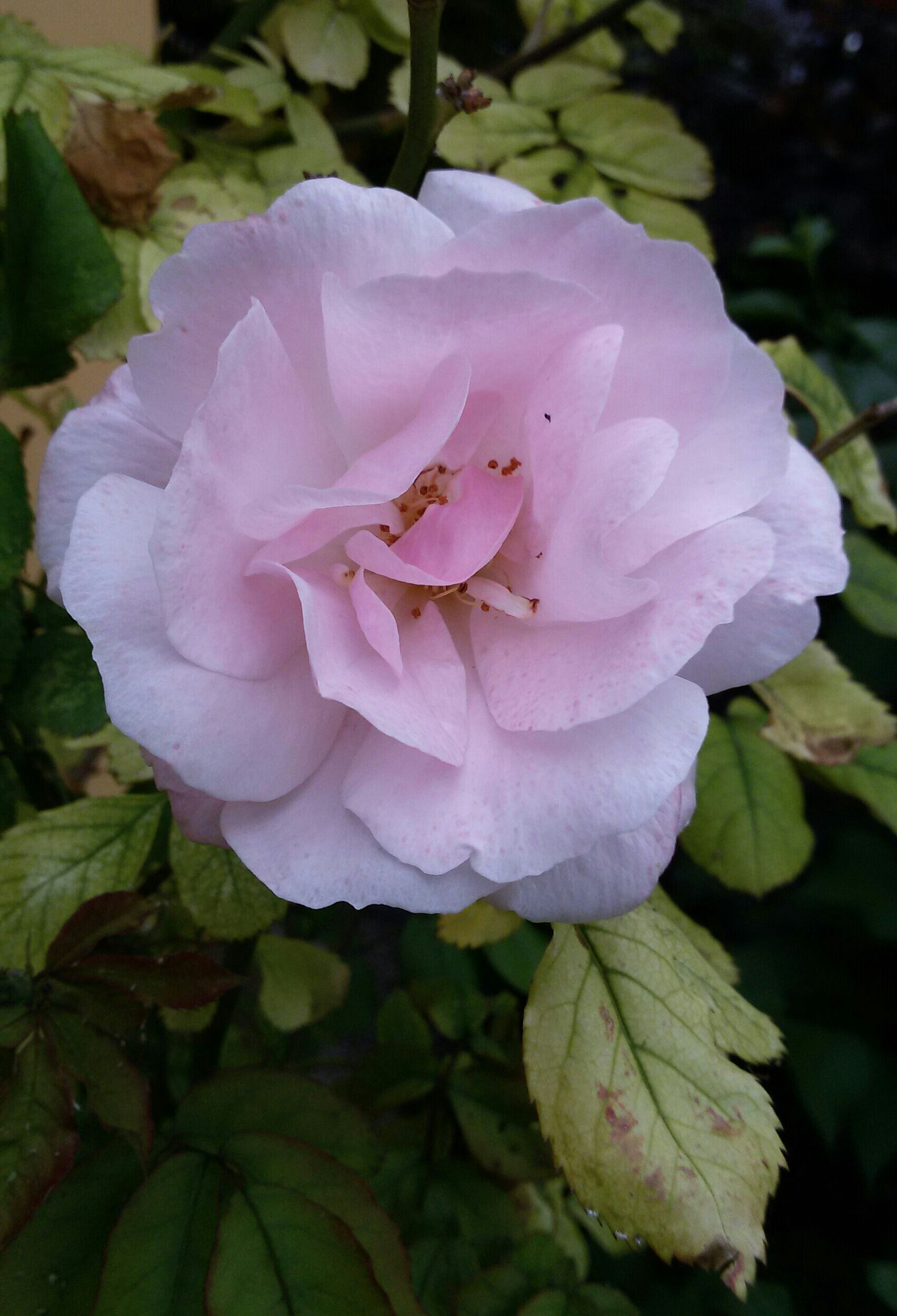 flower, petal, freshness, flower head, fragility, growth, beauty in nature, close-up, single flower, pink color, blooming, nature, leaf, plant, rose - flower, focus on foreground, in bloom, park - man made space, blossom, outdoors