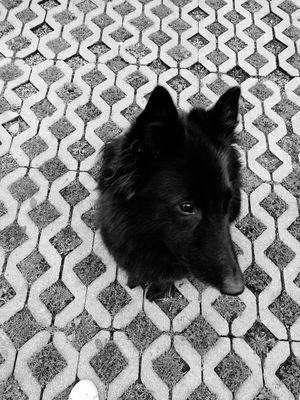 Groenendael Dog BelgianShepherd
