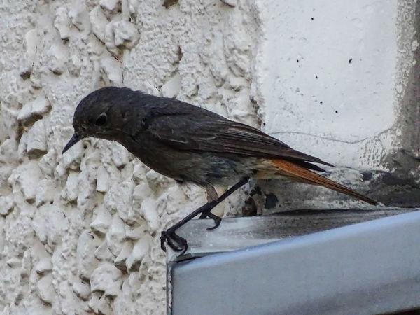 Animal Themes Animal Wildlife Animals In The Wild Bird Black Redstart Nature One Animal Perching