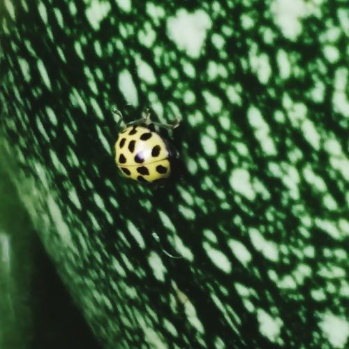 A Close-up of a Bright Yellow and Black Spotted Ladybird Crawling on a Green Pumpkin . Featuring Animals In The Wild Animal Themes One Animal Insect Animal Wildlife Nature No People Day Green Color Outdoors Ladybug Beauty In Nature Background Beautiful Plant Beauty In Nature