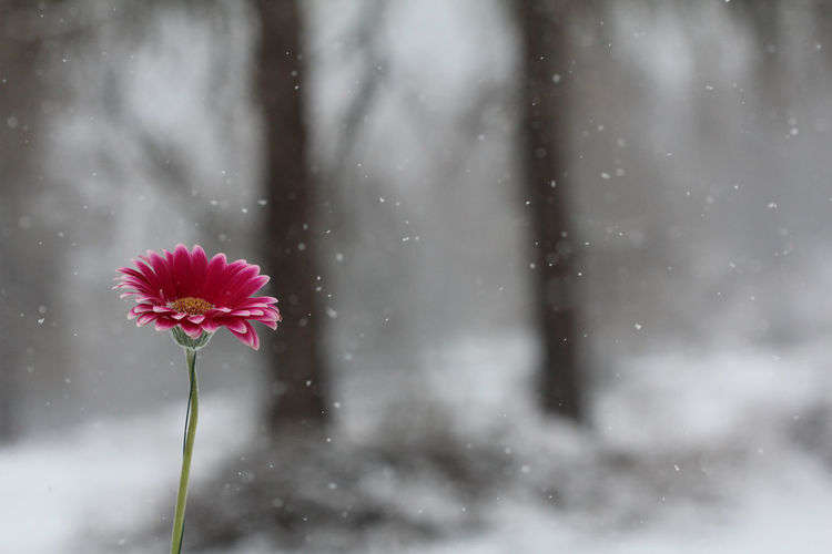 My snow in you Macro Nature Macro Photography Red Insect Green Butterfly Romantic Nostalgia Single Flower Dimorphotheca Violet Snow Snowflake Flower Snowing Snow Tree Winter Cold Temperature Flower Head Sky Close-up