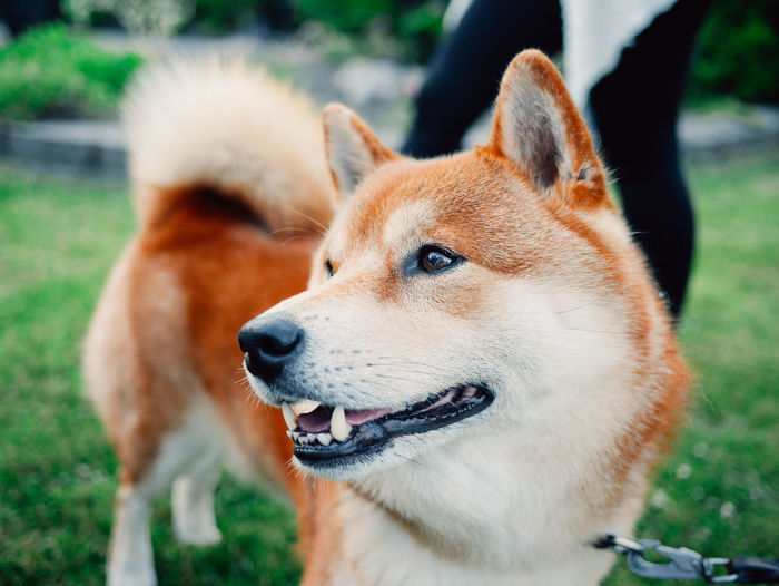 Shiba Animal Themes Close-up Day Dog Domestic Animals Focus On Foreground Grass Mammal Nature No People One Animal Outdoors Pets Portrait