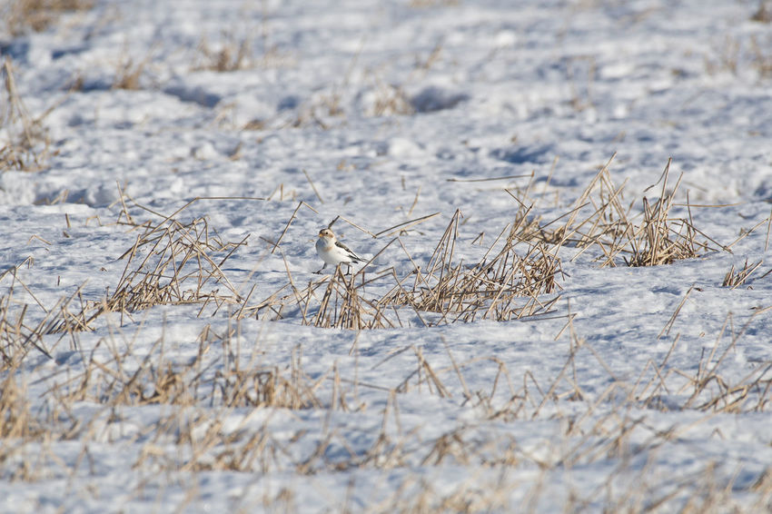 Snow bunting Agriculture Beauty In Nature Close-up Cold Temperature Day Field Frozen Landscape Nature No People Outdoors Plectrophenax Nivalis Snow Snow Bunting Tranquility Weather Winter
