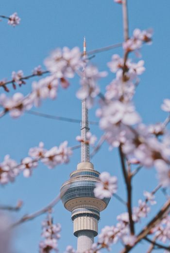 Low angle view of cherry blossom against communication tower