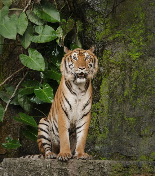 50+ Bengal Tiger Pictures HD | Download Authentic Images on